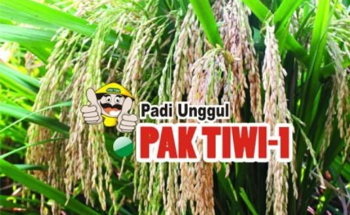 Padi Pak Tiwi 1
