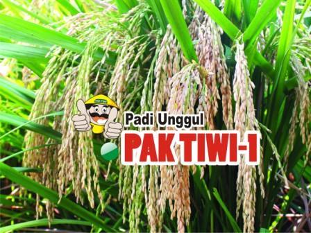 Padi Pak Tiwi-1