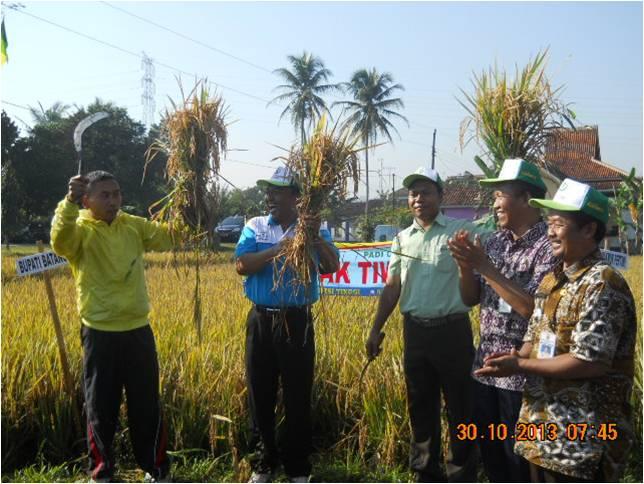 Padi varietas PAK TIWI-1 dipanen oleh Bupati Batang  Ir Yoyok di lahan Bp Tarno Kec  Subah  Kab. Batang (30/10/2013).