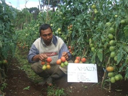 Demplot Tomat Amazon, Dempo Utara, Pagar Alam
