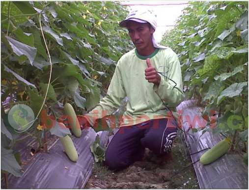 Teknis Tanam Timun Mawi Sistem Lanjaran (Foto: Akbar Bin Muslim)