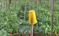 Perangkap Hama Menggunakan Perekat Kuning
