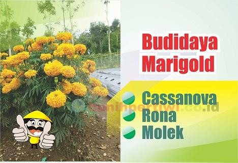 Budidaya Marigold