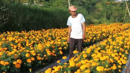 Kebun Bunga Marygold: Surga Tersembungi di Kaki Gunung Agung Bali.