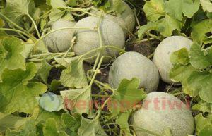 Melon ivory3
