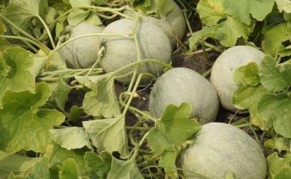 Menanam Melon Ivory Tanpa Lanjaran (Telasah)