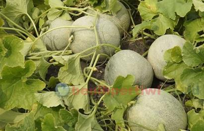 Menanam Melon Ivory Tanpa Lanjaran Telasah Benih Pertiwi