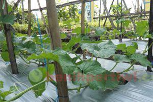 Cabang melon nobel