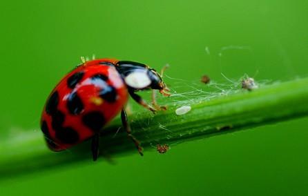 Kumbang Koksi Predator Alami Kutu Daun (Aphis)