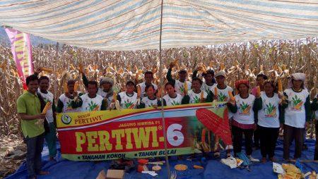 Benih Jagung Hibrida Pertiwi-6 Mulai Dikenalkan di Aceh