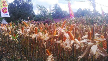 Mantap! Jagung Pertiwi-6 di Simalungun, Sumut