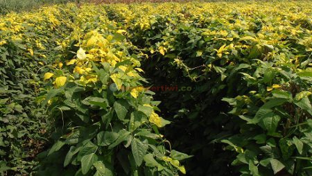 Cegah Virus Kuning dengan Kacang Panjang Pertiwi