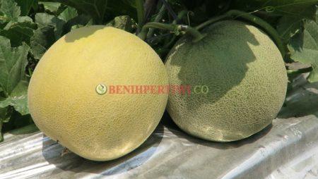 Melon Pertiwi Anvi, Melon Anti Virus yang Manis