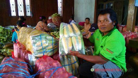 Sukses Pengepul Jagung Manis Talenta, 3-4 Ton per Hari