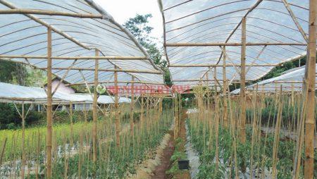 Kelebihan dan Kekurangan Penggunaan Atap Plastik dalam Budidaya Cabai