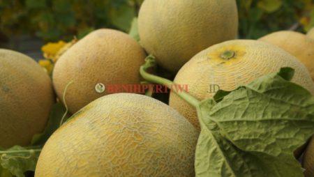Melon Pertiwi, Melon Anti Virus, Modal Utama Panen Sukses