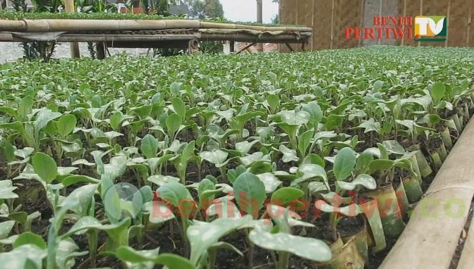 Persemaian Sayuran dengan Daun Pisang, Ala Petani Lembang